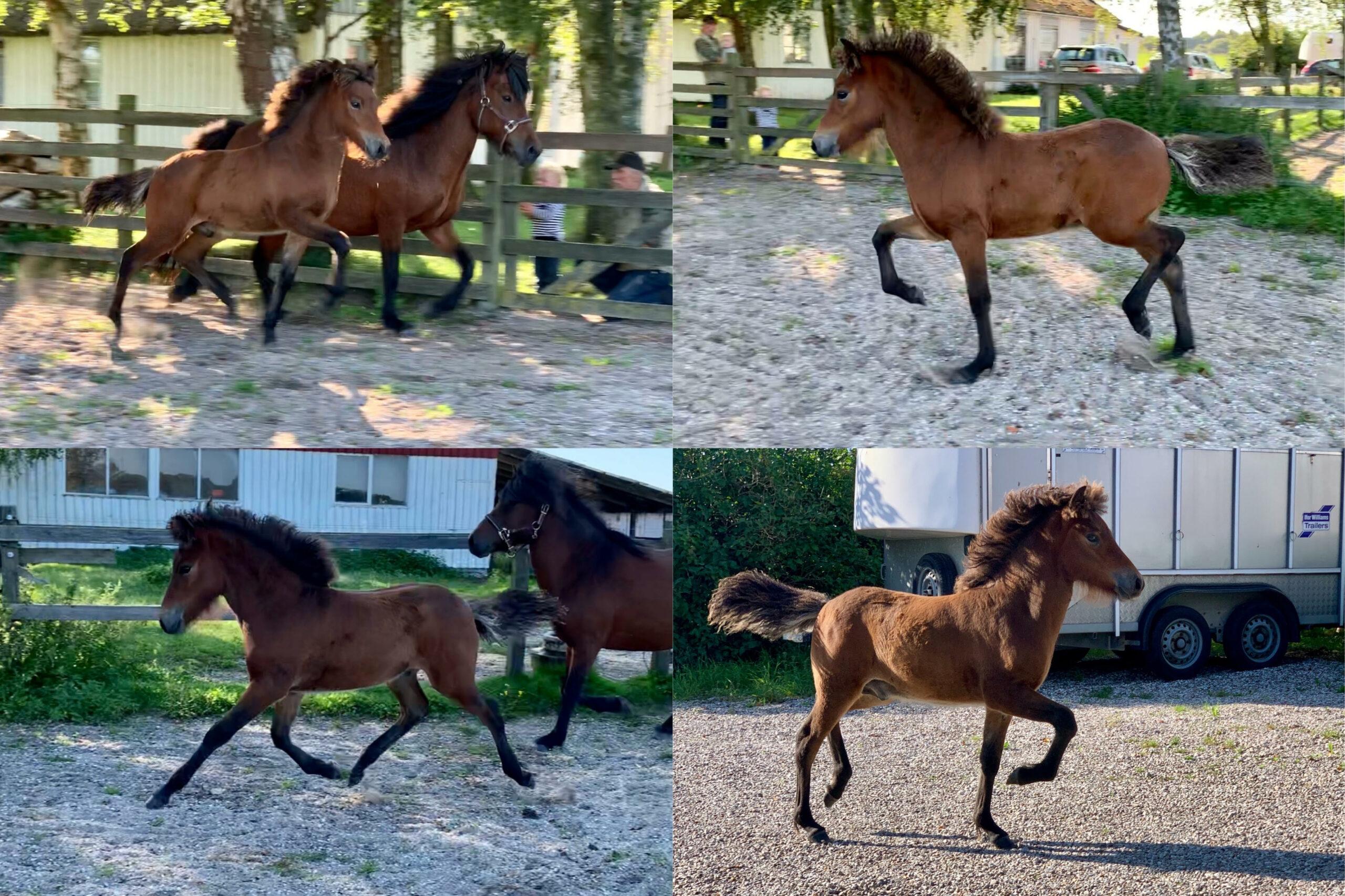 Hagall fra Engholm, islandsk hest til salg